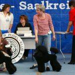 Ausstellungspudel für Hundeausstellungen