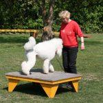 Pudel auf der Box beim Hundesport