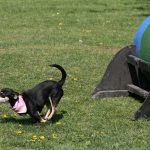 Fasshinderniss beim Hundesport