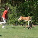 Sprung über die Hürde beim Hundesport