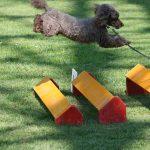 Kleine Hürde. Hundesport mit Pudel